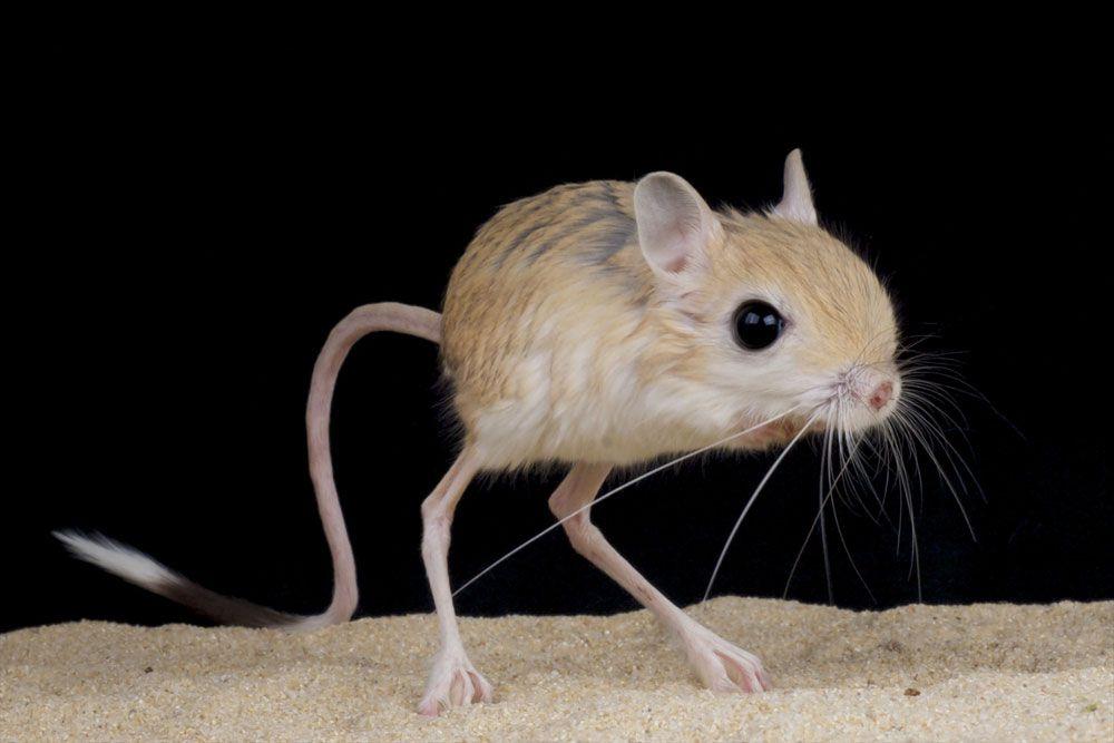 Với khối lượng cơ thể nhỏ cùng đôi chân đặc biệt, loài chuột nhảy Jerboas có thể nhảy vô cùng xa. Nguồn ảnh: Shutterstock.