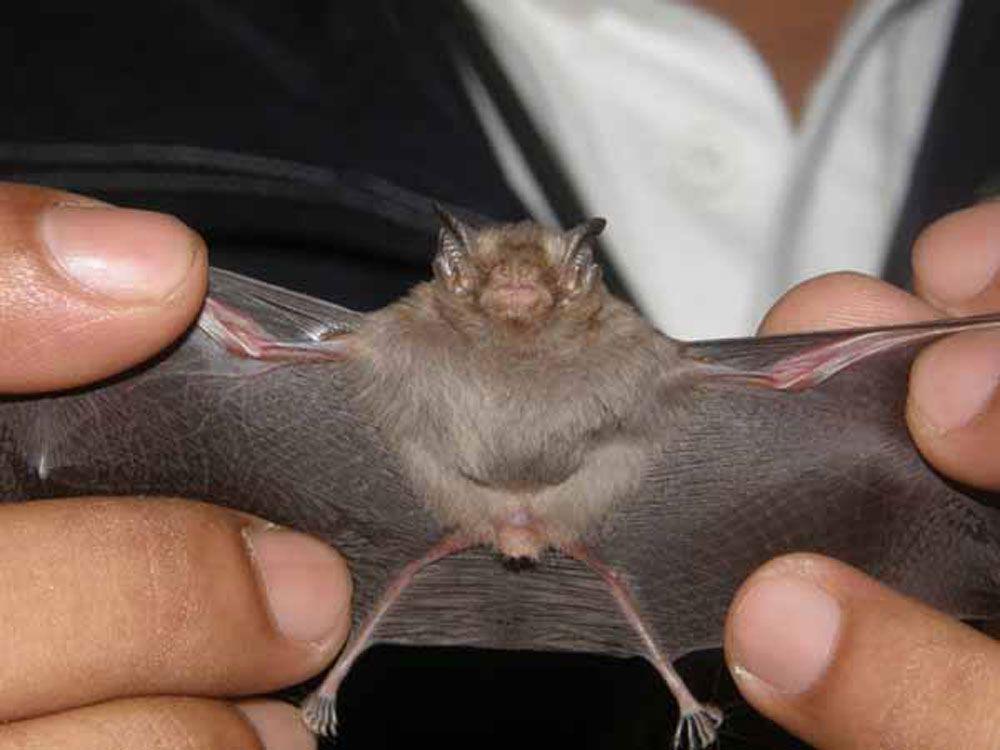 Dơi Bumblebee nhỏ bé như một chú ong, đang có nguy cơ bị tuyệt chủng. Nguồn ảnh: Bedfordshire Bat Group.
