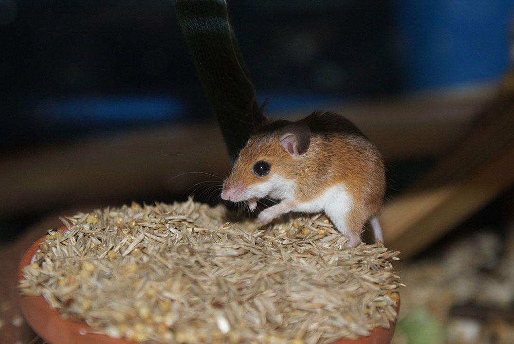 Loài chuột Pygmy Châu Phi ăn rất ít nhưng có tập tính tìm thật nhiều thức ăn và chất thành đống lớn trước cửa hang. Nguồn hình: Wikimedia Commons.