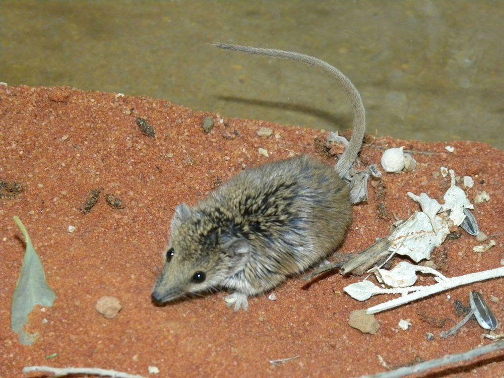 Planigale là một trong những loài vật kích thước nhỏ nhưng có chiếc đuôi dài nhất. Nguồn hình: Alan Couch/Flickr.