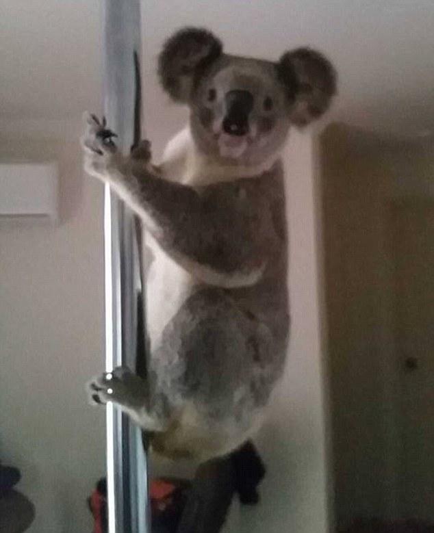Hài hước chú gấu koala đột nhập vào nhà người dân để... múa cột