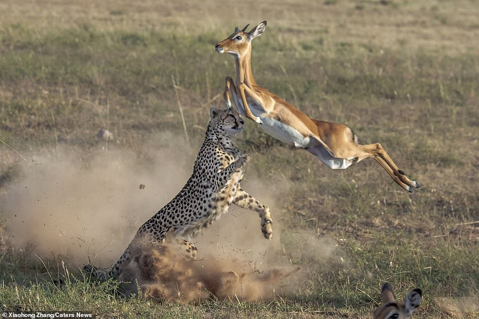 Cảnh tượng phi thường của tự nhiên: Báo cheetah lộn ngược điệu nghệ khi rượt đuổi linh dương