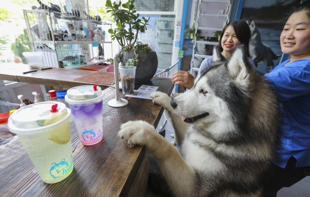 Quán cà phê độc đáo dành riêng cho 'Chủng tộc Đại Ngáo Husky' ở Bắc Kinh