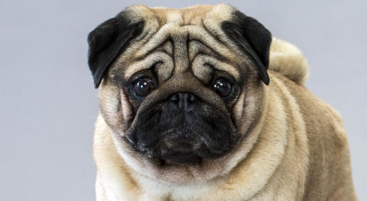 Chó Pug: Đằng sau vẻ dễ thương là tấn bi kịch mua vui cho loài người