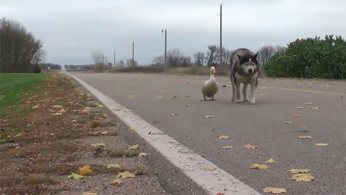 Đôi bạn chó và vịt thích cùng nhau bàn chuyện nhân sinh