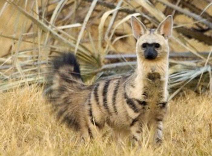 Chó sói đất: Loài động vật dễ thương mà có thể bạn chưa từng biết đến