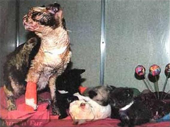 Cảm phục mèo mẹ băng qua biển lửa 5 lần để cứu con