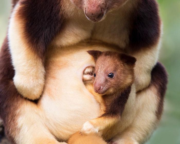 Chuột túi cây dễ thương vô địch, đánh bại cả họ hàng chuột túi