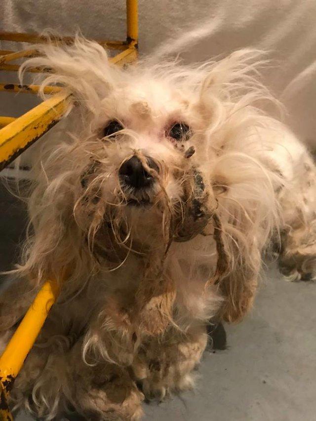 Vẻ xinh xắn của cô chó bị bỏ rơi phía sau bộ lông bết dính khổng lồ