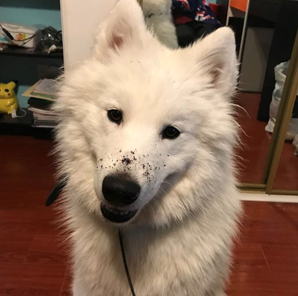 Dở khóc dở cười trước biểu cảm 'ngây thơ vô tội' của boss chó sau khi phá hoại