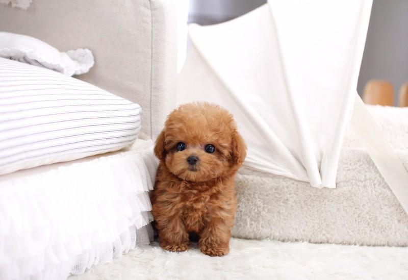 Chó teacup đáng yêu hay minh chứng cho sự tàn ác của con người?