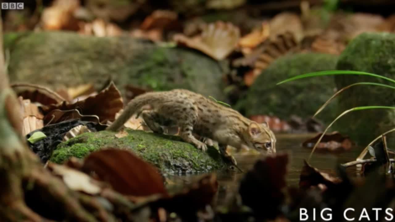 Mèo đốm gỉ - Loài mèo nhỏ nhất thế giới có nguy cơ biến mất vĩnh viễn
