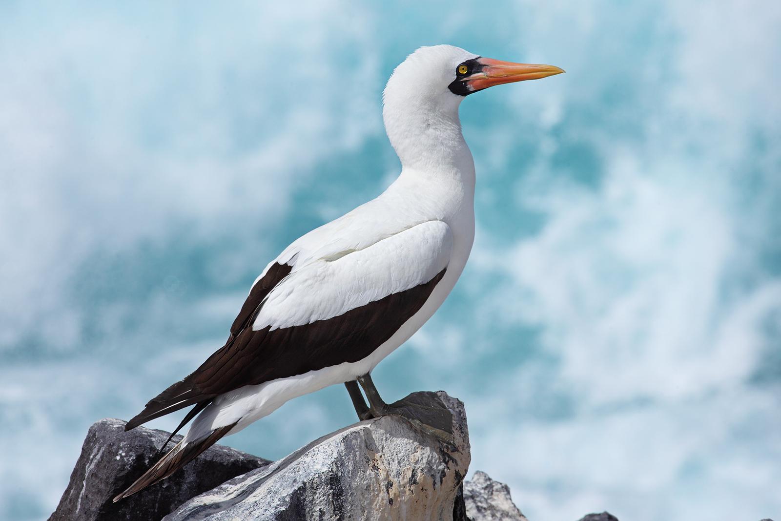 Loài chim điên liệu có thật trên đời?
