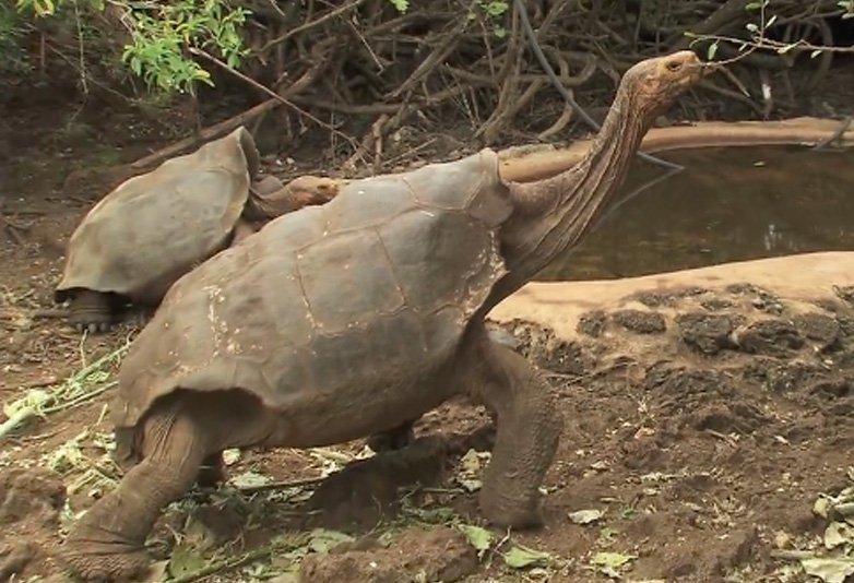 Chuyện chú rùa đen đủi phải tích cực 'ấy ấy' để cứu cả loài khỏi tuyệt chủng