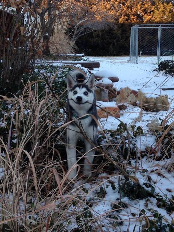 Các sen đã chứng minh Husky và Alaska là giống loài mặt ngáo nhất hành tinh