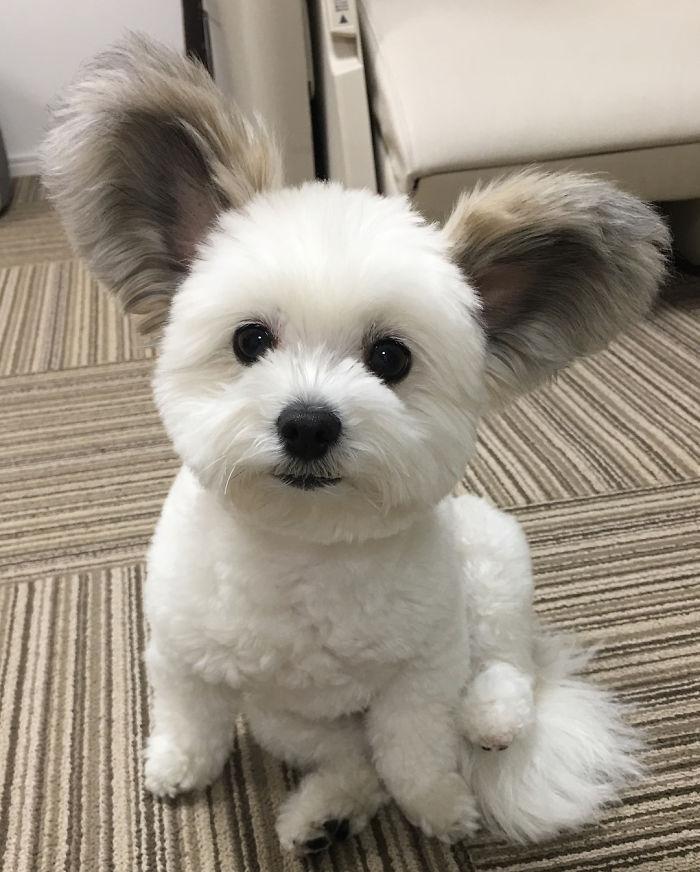 Cô chó có đôi tai hệt như chuột Mickey siêu đáng yêu 'đánh cắp' trái tim hàng triệu người