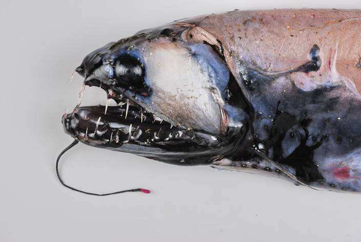 25 loài sinh vật đáng sợ nhất ẩn náu dưới biển sâu (P.2)