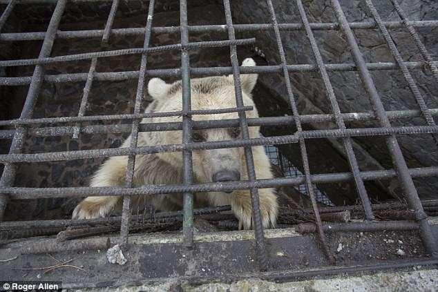 Giải cứu chú gấu đáng thương bị giam cầm nhiều năm trong xà lim chật hẹp