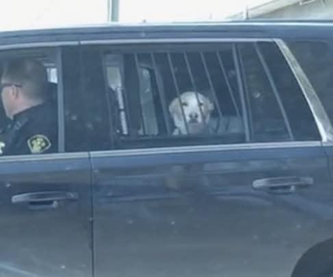 Vừa hài vừa thương chú chó rượt đuổi hươu rồi bị cảnh sát... bắt về đồn