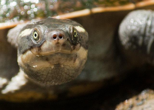 Rùa 'tóc xanh' có khả năng thở bằng hậu môn đang đối mặt nguy cơ tuyệt chủng
