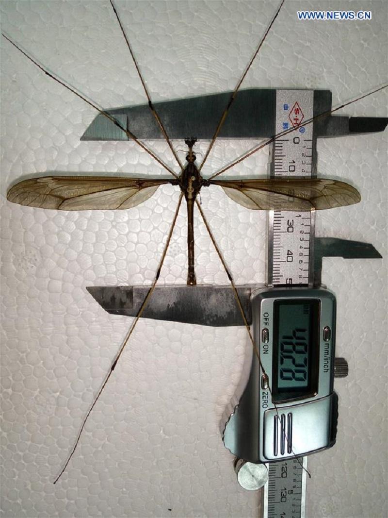 Bạn có biết con muỗi lớn nhất thế giới vừa được tìm thấy ở Trung Quốc?