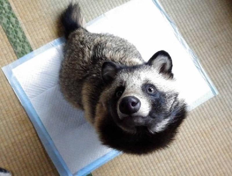 Chú tanuki trông y hệt gấu mèo đáng yêu được một người Nhật nhận nuôi