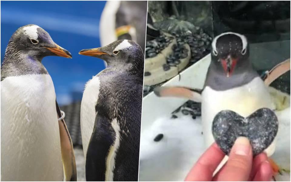 Cặp đôi cánh cụt đực đồng tính được tặng trứng để ấp, thoả mãn mơ ước làm cha