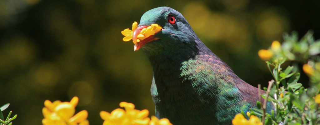 Loài bồ câu 'ngã cây' của New Zealand vừa được phong là 'chim của năm'