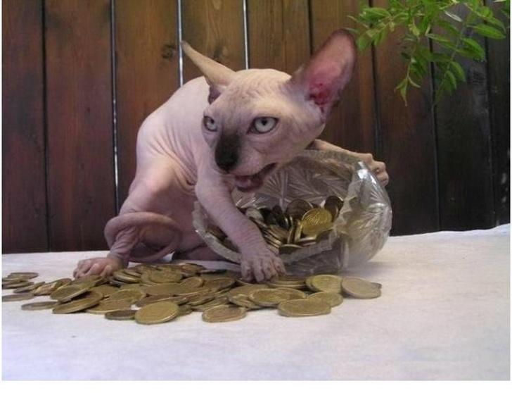 Mèo Nhân Sư - Bề ngoài dữ dằn nhưng lại là những 'quàng thượng' đáng yêu nhất quả đất