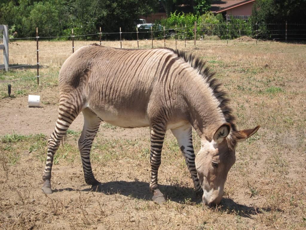 Tình yêu giữa ngựa vằn và lừa sẽ tạo ra kiệt tác tự nhiên đáng yêu không đỡ nổi