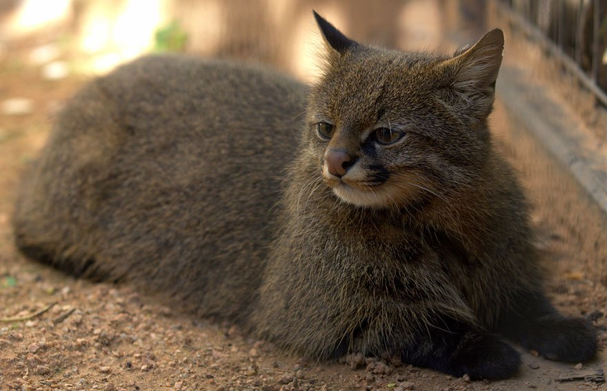 Các giống mèo rừng quý hiếm (và cả dễ thương) chưa chắc bạn đã từng nghe đến (Phần 1)
