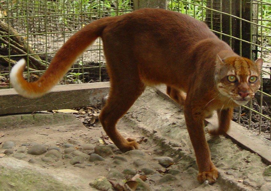 Các giống mèo rừng quý hiếm (và cả dễ thương) chưa chắc bạn đã từng nghe đến (Phần 2)