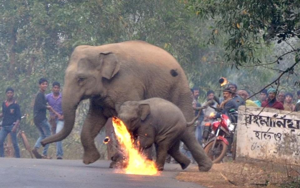 Người Ấn Độ ném cầu lửa và đá để xua đuổi đàn voi đáng thương