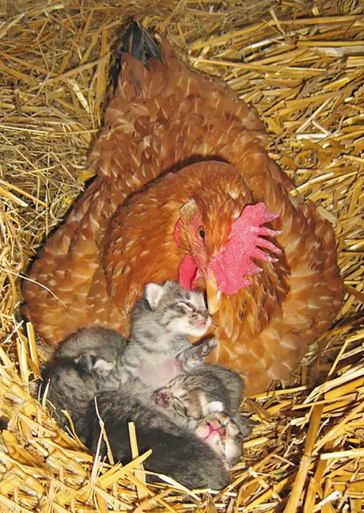 Gà mái chính là bà mẹ có tình thương yêu vô bờ bến nhất trong thế giới loài vật