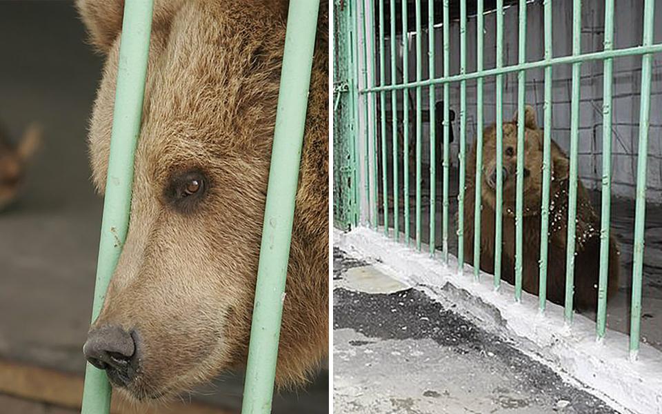 Gấu nâu bị bắt bỏ tù 15 năm, sống cùng với các tội phạm nguy hiểm sau 2 vụ tấn công người