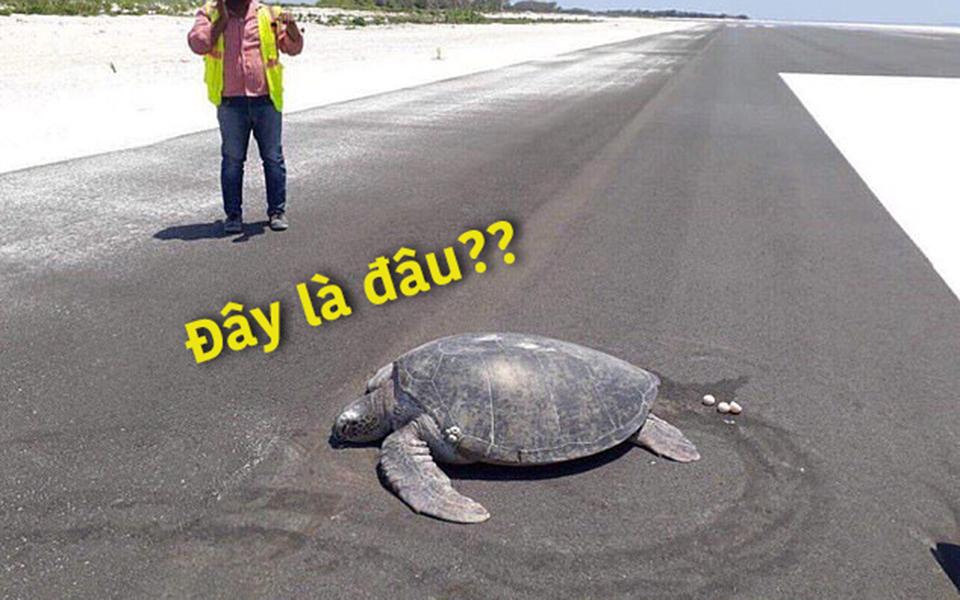 Cô rùa quý hiếm quay về bãi biển Maldives để đẻ trứng, ngỡ ngàng khi xung quanh đã biến thành thành đường băng