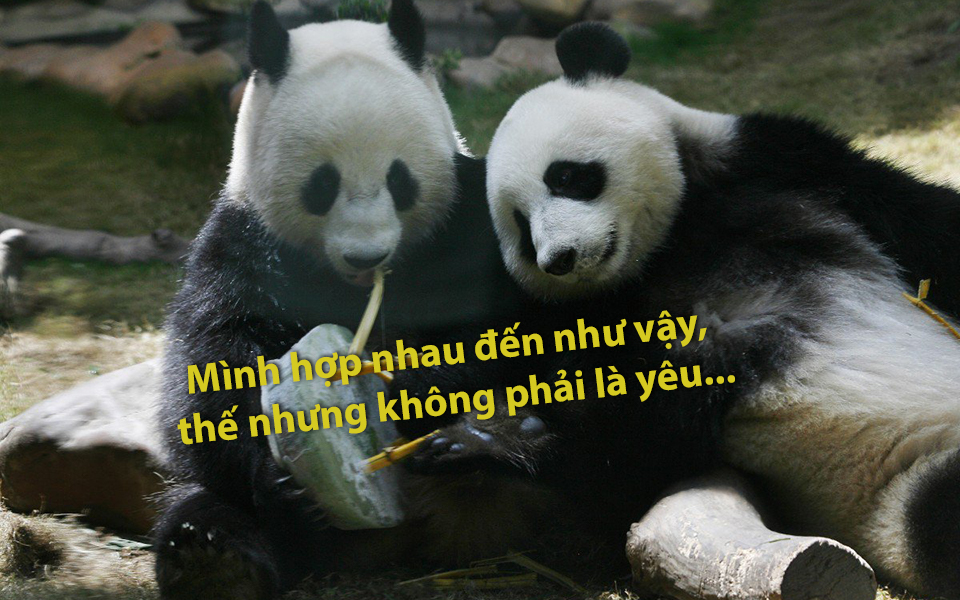8 năm nhởn nhơ không chịu sinh con đẻ cái, cặp gấu trúc tại Hong Kong có thể bị trả về 'nơi sản xuất'