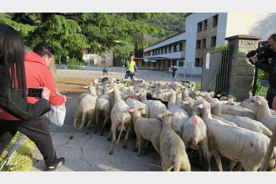15 chú cừu ở Pháp được đến trường tiểu học với tư cách là học sinh