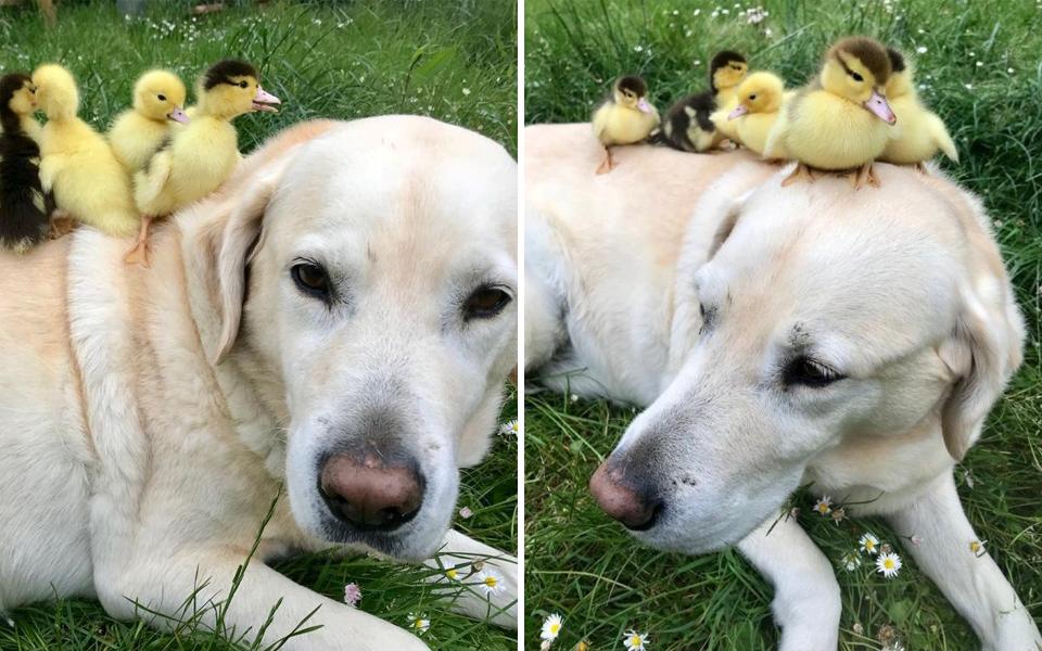 Chú chó vú em tiếp tục nhận nuôi thêm 6 bé vịt mới sau khi đàn vịt cũ đã lớn