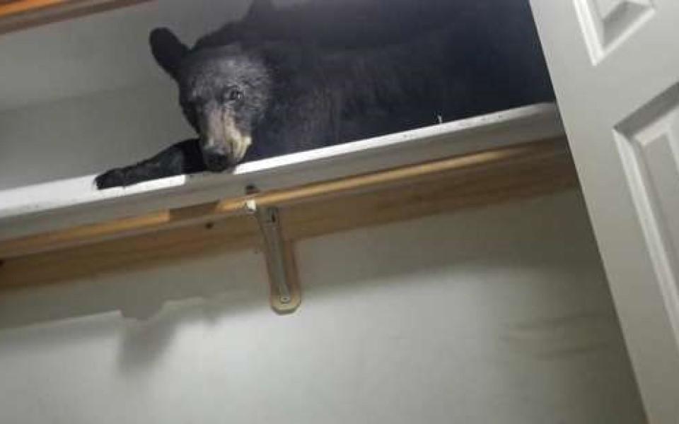 Chú gấu đen Bắc Mỹ lạc đường vào nhà dân, đã ngủ ngáy gặp người còn vươn vai tỉnh bơ