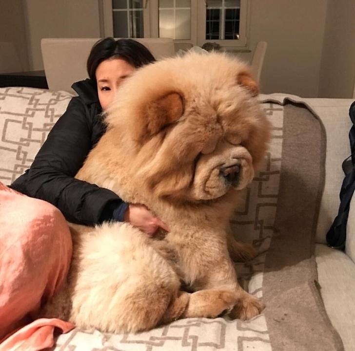 Cuộc sống sẽ thú vị ra sao khi nuôi một chú 'gấu chó' - chó to bằng một con gấu?