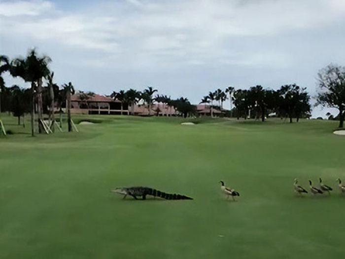 Kỳ quái cảnh tượng đàn ngỗng hùa nhau xua đuổi cá sấu khỏi bãi cỏ