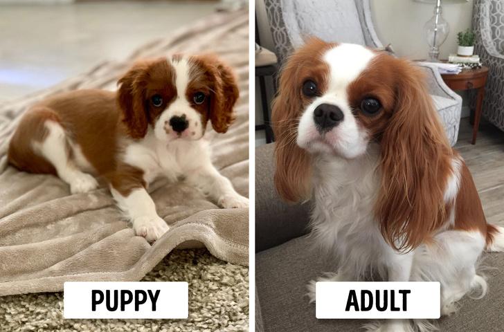 Những chú chó trông vẫn giống hệt như cún con kể cả khi lớn lên