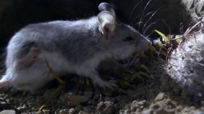 Hãy làm quen với 'Chuột Ma Sói' - loài chuột tàn bạo nhất hành tinh