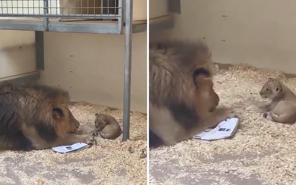 Ông bố sư tử dịu dàng cúi thấp người để gặp con mình lần đầu tiên
