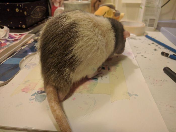 Chú chuột bỗng dưng nổi tiếng toàn thế giới nhờ khả năng hội họa của mình