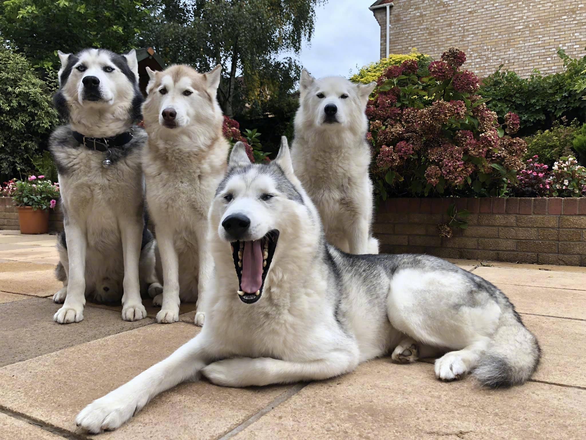 Ảnh đàn chó Husky chứng minh định luật luôn có đứa 'phá game' trong một team