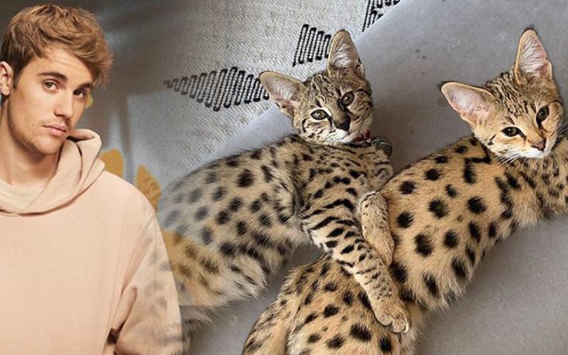 Justin Bieber bị PETA 'sờ gáy' vì nhận nuôi giống mèo hoang dã