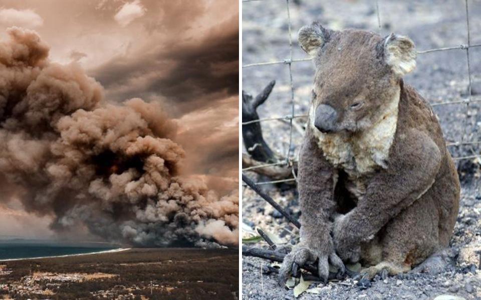 Chậm chạp lại yếu đuối, hơn 350 chú koala đã bỏ mạng trong trận cháy rừng lớn tại nước Úc