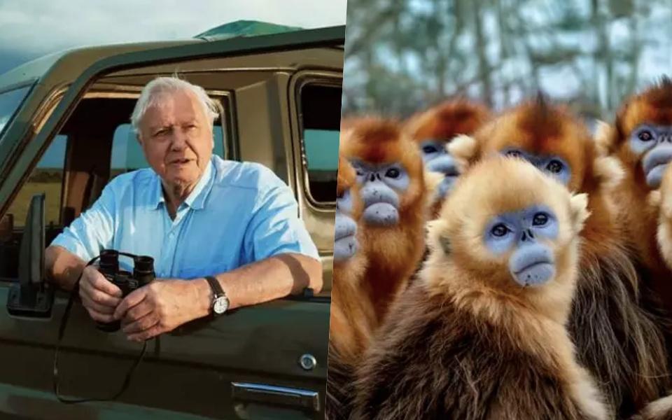 Ngài David Attenborough mất 50 năm chỉ để quay loài Voọc cho loạt phim tài liệu mới của BBC